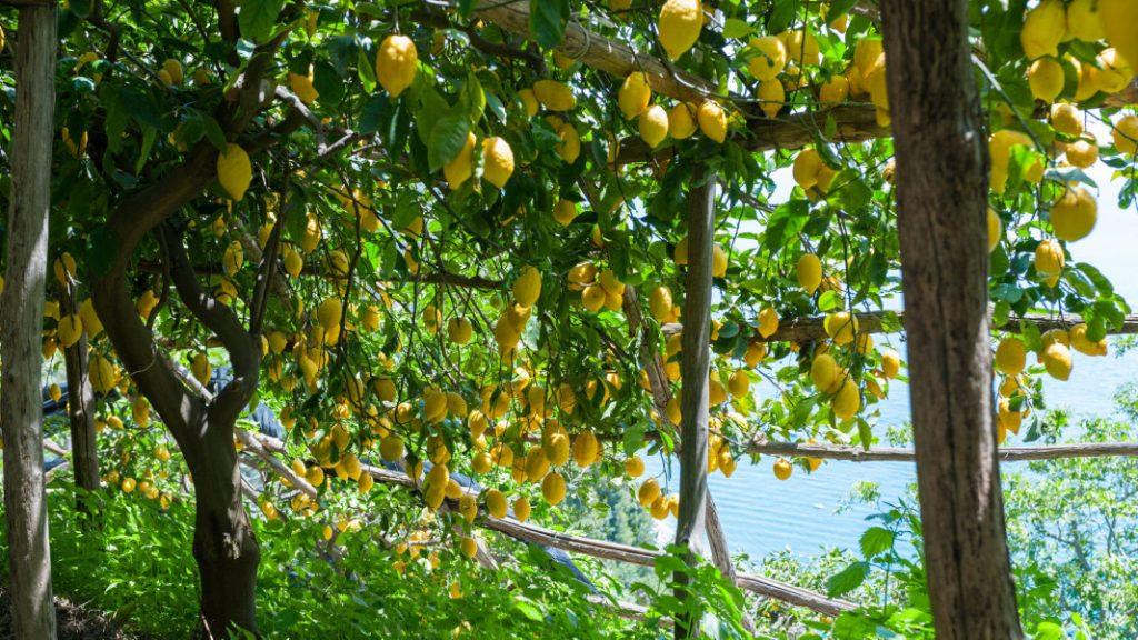 Kebangkitan lemon Italia